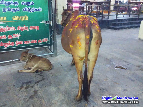 Thiruverkadu cow