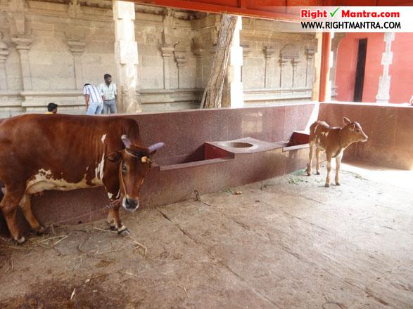 கோ-பூஜையில் பங்கேற்கும் கரூர் பசுபதீஸ்வரர் ஆலய பசுவும் கன்றும்!