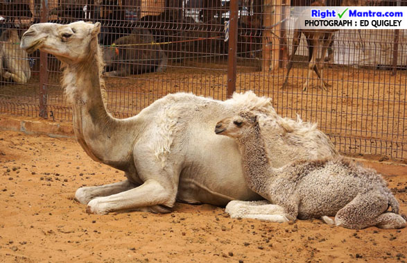 Camel and calf
