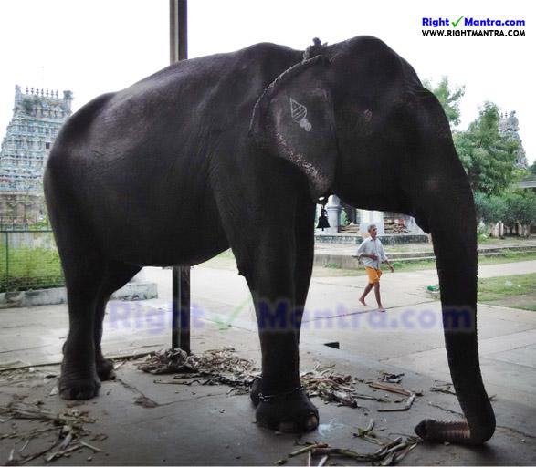 Thiruvidaimarudhur Elephant