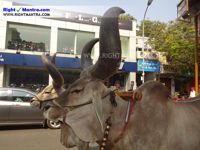 Hare Krishna Bullock Cart 10