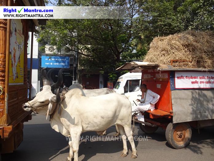 Hare Krishna Bullock Cart 8