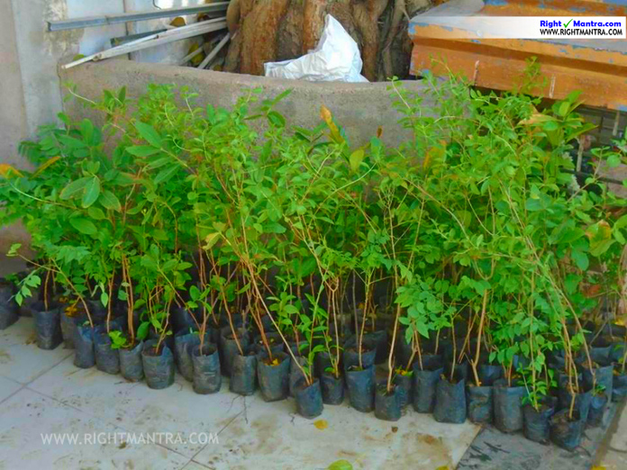 treebank tree saplings