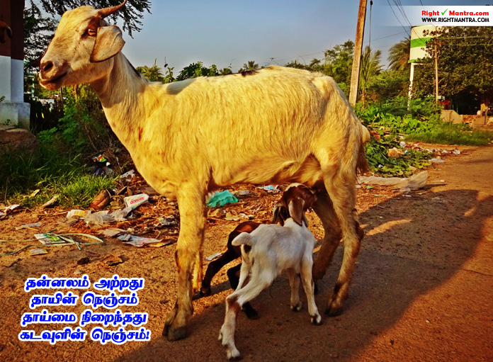 goat-mother-feeding